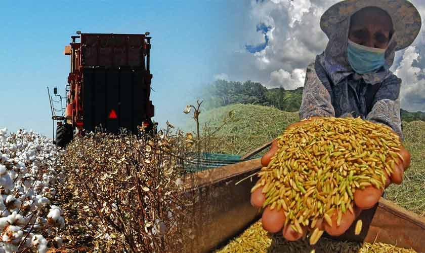 Facing GM crop restrictions, Mexican cotton farmers may import illegal biotech seeds
